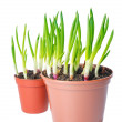 Fresh green onion different size in a pot. Concept of thick and — Stock Photo #40846873