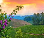 Beautiful card of landscape tea plantations in a pre-dawn haze i — Stock Photo