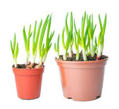Fresh green onion different size in a pot. — Stock Photo