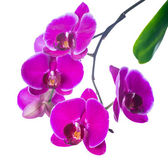 Branch  lilac orchid with bandlet isolated, white background — Stockfoto