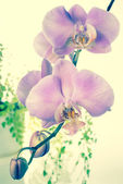 Fantastic beautiful  purple of flowers orchid, phalaenosis close — Stock Photo