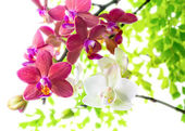 White with red   phalaenopsis with green leaves is isolated on w — Foto de Stock