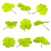 Collection set of green geranium  leaves is  isolated on white b — Stock Photo