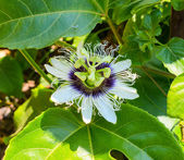 Passionflower on a leaf with insect in the nature  — Stock Photo
