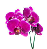 Beautiful lilac orchid with bandlet is isolated on white backgro — Stock Photo