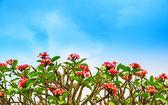Flowers Adenium on the blue skу background — Foto de Stock