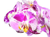 Unusual white with purple  flowers of orchid,   phalaenopsis is  — Foto de Stock