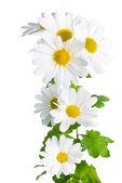 Frais chrysanthème blanc comme la camomille est isolé sur blanc — Photo