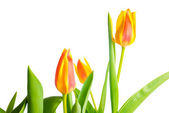 Yellow and red Tulips flower is isolated on white background  — Stock Photo