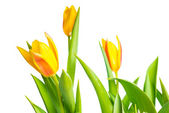 Spring yellow Tulips flower colorful is isolated on white backgr — Stock Photo