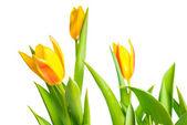 黄色のチューリップ花の色鮮やかな春は白を上に分離されて — ストック写真