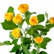 Yellow rose bush flowers isolated over white — ストック写真
