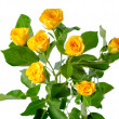 Yellow rose bush flowers isolated over white — Photo