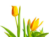 Yellow Tulips flower is isolated on white background  — Stock Photo