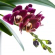 Постер, плакат: Blooming branch deep purple with drops orchid phalaenopsis in f