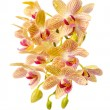 Blooming branch striped yellow and red orchid with drops, phalae — Stock Photo