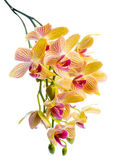 Blooming branch stripped yellow  orchid, phalaenopsis is isolate — Stock Photo