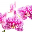 Постер, плакат: Blooming branch spotted deep purple orchid phalaenopsis is isol