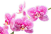 Blooming branch spotted deep purple orchid, phalaenopsis is isol — Stock Photo