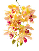 Blooming branch orange striped orchids, phalaenopsis is isolated — Stock Photo
