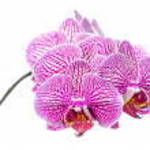 Постер, плакат: Blooming branch stripped deep purple orchid phalaenopsis is is