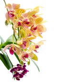 Blooming branch stripped orange orchid and black purple orchid,  — Stok fotoğraf