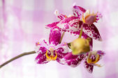 Blooming branch spotted purple orchid, phalaenopsis on pink and  — ストック写真