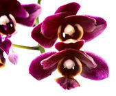 Blooming branch dark sherry  orchid, phalaenopsis is isolated on — Foto Stock