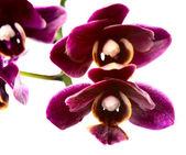 цветущие ветви темно шерри орхидея, фаленопсис изолирован на — Стоковое фото
