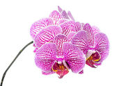 Blooming branch stripped deep purple  orchid, phalaenopsis is is — Photo