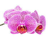 Blooming beautiful stripped lilac orchid flower, phalaenopsis is — Stok fotoğraf