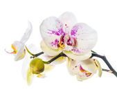 Blooming beautiful motley lilac orchid flower, phalaenopsis is i — Стоковое фото