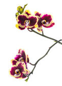 Blooming beautiful deep purple with yellow bandlet orchid flower — Stok fotoğraf