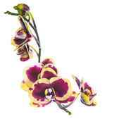 Blooming beautiful lilac with yellow bandlet orchid flower, phal — Stok fotoğraf
