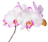 Blooming lilac striped orchid, phalaenopsis is isolated on white — Stok fotoğraf