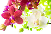 Blooming branches white and red phalaenopsis orchid with green l — Stock Photo