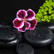 Постер, плакат: Spa concept with beautiful deep purple flower of geranium green