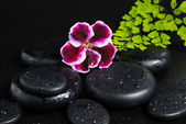 Spa concept with beautiful deep purple flower of geranium, green — Stock Photo