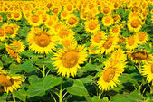 Beautiful bloming field of sunflower background with insect — Stock Photo