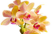 Blooming beautiful stripped orange orchid, phalaenopsis is isola — Stock Photo