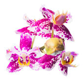 Blooming beautiful spotted cherry orchid is isolated on the whit — Stock Photo