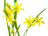 Geelster lutea (gele ster van bethlehem) het eerste wild lente flo — Stockfoto