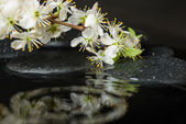 Beautiful spa setting of zen stones with drops and blooming twig — Stock Photo