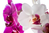 Blooming purple and white orchid flower, phalaenopsis  isolated — Stock Photo