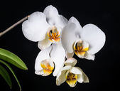 Blooming beautiful white orchid on the black background — 图库照片