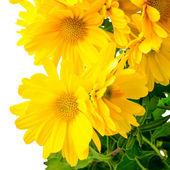 Fresh yellow chrysanthemum is isolated on white background, clos — Stock Photo