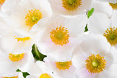 Spring flowers of Anemone sylvestris (snowdrop anemone),  abstra — Stock Photo