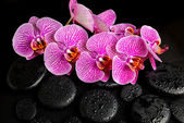 Beautiful spa concept of blooming twig of stripped violet orchid — Stock Photo