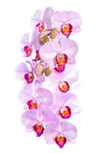Branch of blooming gentle pink orchid flower, phalaenopsis is is — Stock Photo