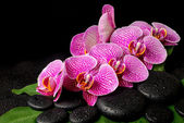 Spa set of zen stones with drops, blooming twig of stripped viol — Stock Photo